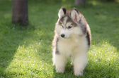 Cute little siberian husky puppy playing in green grass — Stock Photo