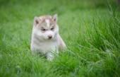 Puppy siberian husky  on grass — Stok fotoğraf