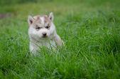 Puppy siberian husky  on grass — Stock Photo