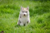 Puppy on grass — Stock Photo