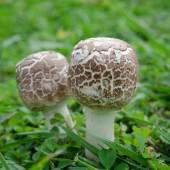 Little mushrooms on green grass — Stock fotografie