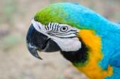 Colorful parots head closeup  — Stock Photo