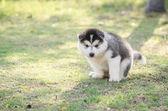 Cute siberian husky puppy pooping on green grass — Stock Photo