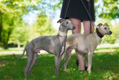 Legs of the girl  with two greyhounds  — Stock Photo