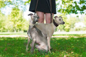 Legs of the with  two greyhounds  — Stock Photo