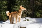 Eskimo dog — Stock Photo