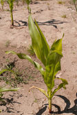 Corn plant variety — Stock Photo