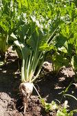 Sugar beet field for autumn — Stock Photo