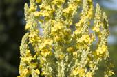 Mullein plant close up — Stock Photo