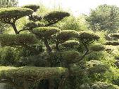 Japanese black pine Pinus thunbergii — Stock Photo