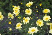 Yellow Marguerite richly flowering small shrub — Stock Photo
