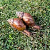 Crawler snail — Stock Photo