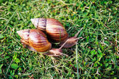 Crawler snail — Stock Photo