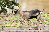 Goat,pet — Stock Photo