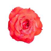 Цветок розы. — Стоковое фото