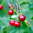 Ripe cherries on branch — Stock Photo #63877735