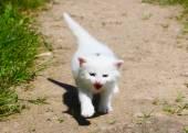 Sevimli beyaz kedi — Stok fotoğraf