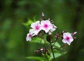 Garden small flowers — Stock Photo