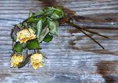 Rose gialle secche — Foto Stock