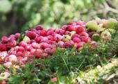 Świeże jabłka w ogrodzie — Zdjęcie stockowe
