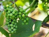 Gröna druvor i trädgården — Stockfoto