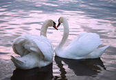 Swans in love on the pond — Stock Photo