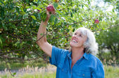 Attractive Senior Woman Picking Apples — Stock Photo