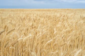 Background. A field of wheat and blue sky. — Stock Photo
