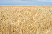 Achtergrond. Een veld van tarwe en blauwe hemel. — Stockfoto