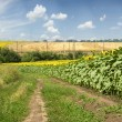 Country road near field of sunflowers — Stock Photo #79220326