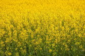 Luoping canola flower on a small patch of flowers Bazi — Stock Photo