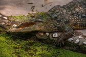 Chongqing crocodile crocodile pool center — Stock Photo