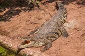 Chongqing crocodile crocodile piscine Centre — Photo