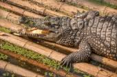 чунцин крокодил крокодила бассейн центр — Стоковое фото