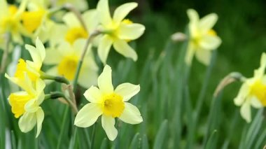 Narcissus on a sunny day, close-up — Stock Video
