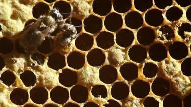 Birth Bee with honeycombs. close-up — Stockvideo
