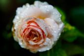 Vacker rosa ros med vattendroppar — Stockfoto