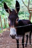 Black donkey — Stock Photo