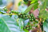 Caffè verde in pianta — Foto Stock