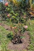 Rose plant — Stock Photo