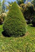 Cypress from a garden — Foto de Stock