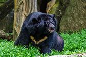 Asiatic black bear (Ursus thibetanus) — Stock Photo