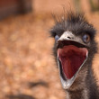 Emu bird head — Stock Photo #58838255