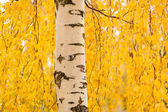 Birch trunk and vibrant yellow leaves — Stock Photo