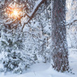 Sun shining through snowy tree — Stock Photo #58436889