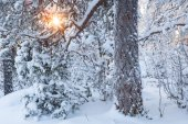 Sun shining through snowy tree — Stock Photo