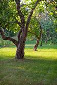 Apple trees in home garden — Stock Photo