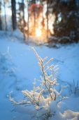 Frozen blueberry twig in last warm sunlight of the day — Stock Photo