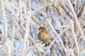 Sparrow sitting in frost bush — Stock Photo