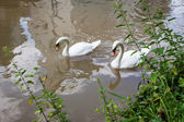 Two curious swans in city river — Stock Photo